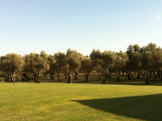 prachtige olijfgaard van villa barbarina - alghero.jpg