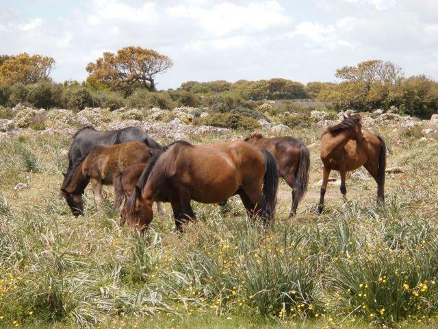 wilde paarden - giara di gesturi - sardinie.jpg