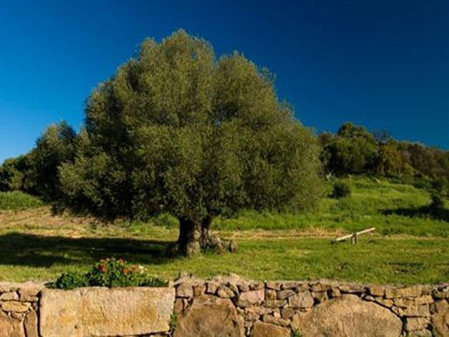 Eeuwen oude olijf op het landgoed van Genna e Corte - Sardinie