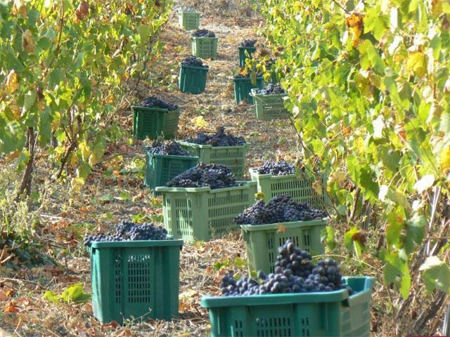 sardinie bb Pessighette - Druiven plukken